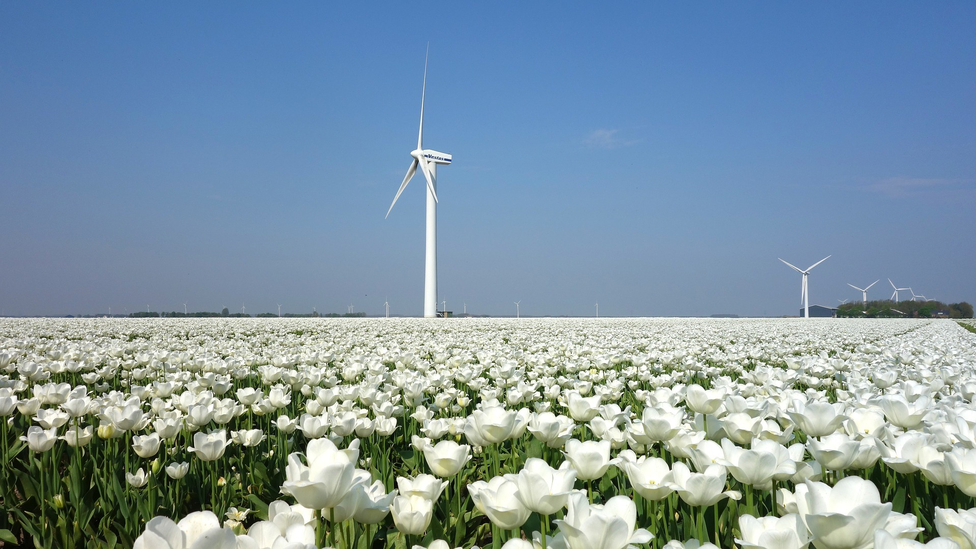 A windmill in a field of tulips in The Netherlands